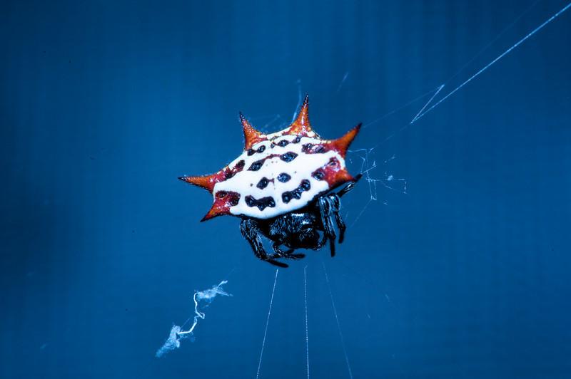 Crab Spider-Timbercreek
