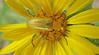 Unid Beetle (Zonitis sayi)