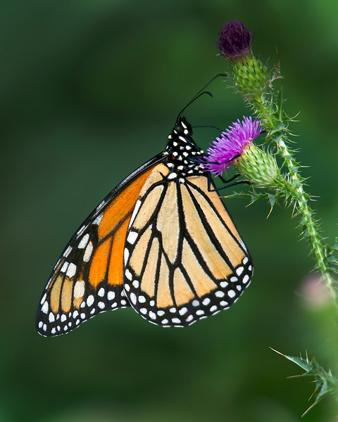 This photograph of a Monarch Butterfly on a thistle was captured in Shenandoah National Parkway Park, VA (8/11).     This photograph is protected by the U.S. Copyright Laws and shall not to be downloaded or reproduced by any means without the formal written permission of Ken Conger Photography.