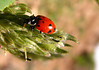 Coccinellidae - a member of the beetle family.