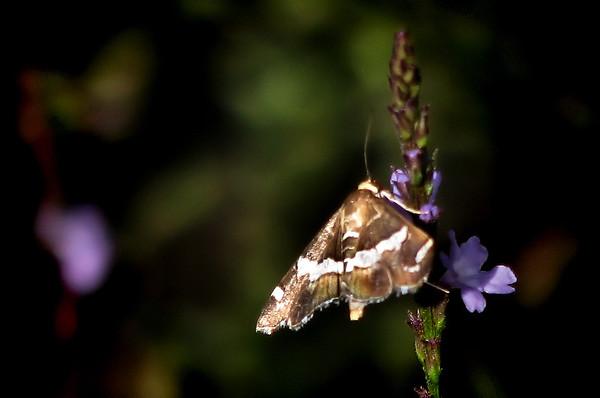 A beet webworm moth (Spoladea recurvalis) feeding on Texas vervain (Verbena halei) (20121103_04883)
