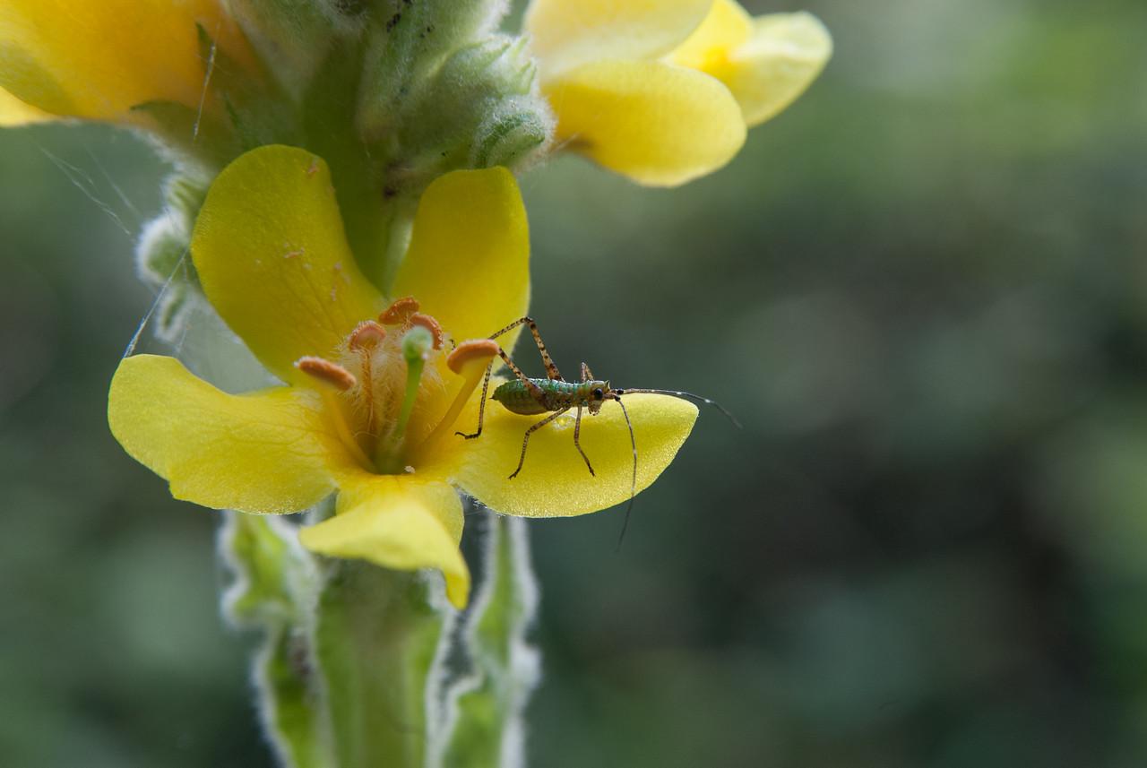 Little Grasshopper in flower