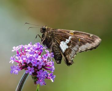 Moth on Allium Flower