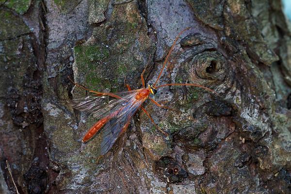 Ichneumon Wasp (Ophion obscuratus)