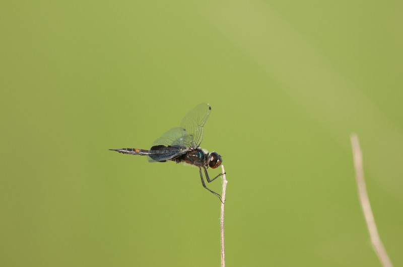 Dragon Fly (15)