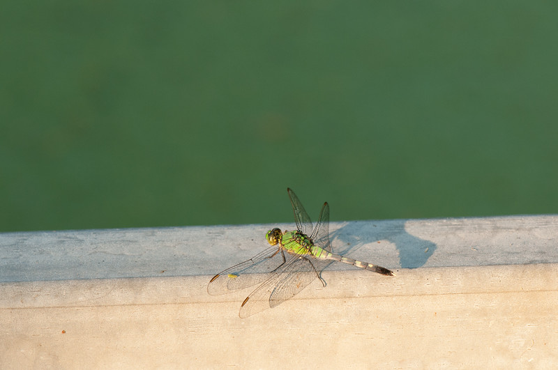 Dragon fly (16)