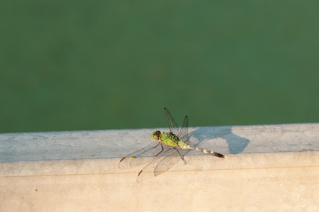 Dragon fly (16)