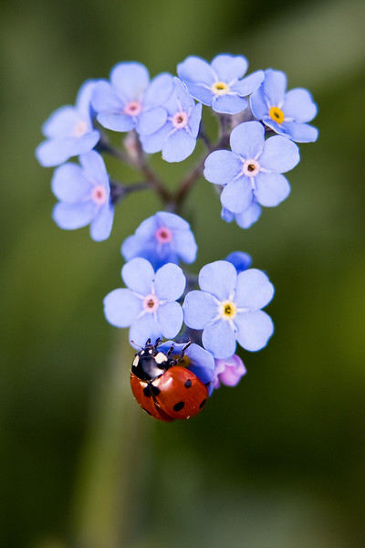 Lady bug crawls around a bunch of Forget-Me-Not flowers.  I was looking for some other flower species along the fence line of a pasture SW from Turner Valley and found this one little clump of Forget-Me-Nots, at exactly the same time this lady bug found them!