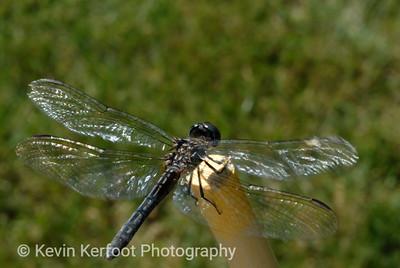 Dragonfly0042nx