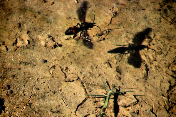 A velvet ant (Dasymutilla sp.) in flight (IMG_3659)