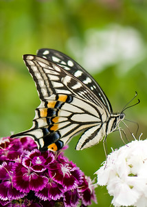 Some species of Tiger Swallowtail (Papilio) shot in Dongping Forest Reserve, Chongming Island, Shanghai, China.