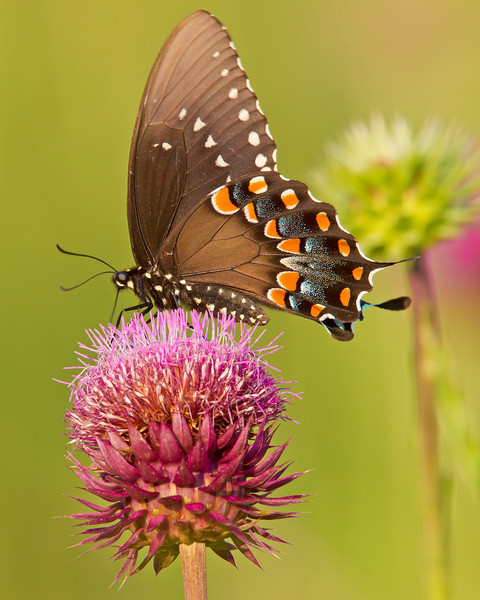 This photograph of a Black Swallowtail Butterfly on a Musk Thistle was captured along the Colonial National Parkway in Yorktown, VA (5/11).     This photograph is protected by the U.S. Copyright Laws and shall not to be downloaded or reproduced by any means without the formal written permission of Ken Conger Photography.