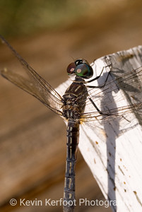 Dragonfly0021a