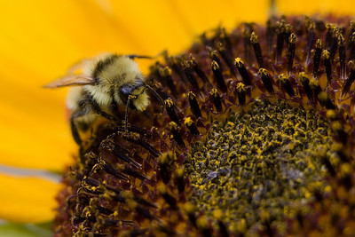 This bee works its way around a medium sized sunflower.