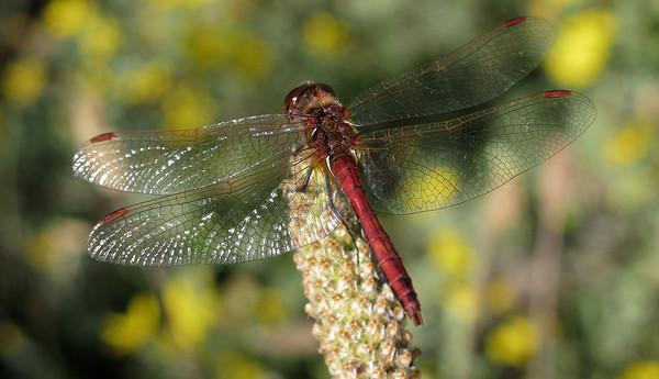 Meadowhawk (Sympetrum, sp unknown)