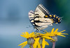 Tiger Swallowtail, Rockville, Maryland