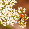 Elderflower with beetle