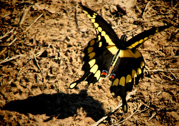 A giant swallowtail (Papilio cresphontes) in flight (IMG_3537)