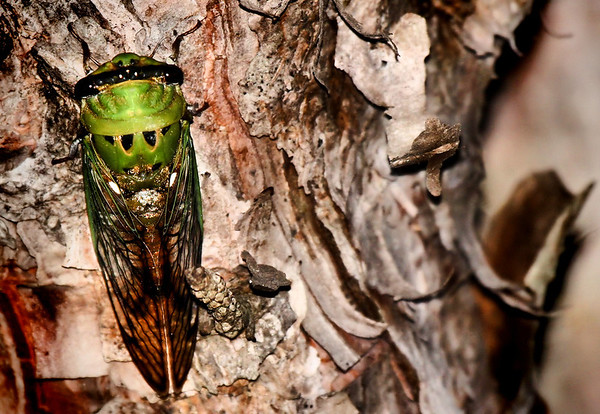 A male superb cicada (a.k.a. green harvestfly, green cicada or superb green cicada; Tibicen superba) clinging to the side of a tree (2009_07_06_026143)
