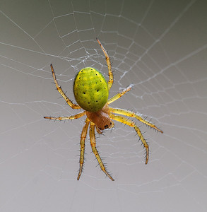 Green Orb-weave Spider