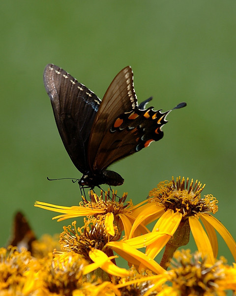 Black Swallowtail, Rockville, Maryland