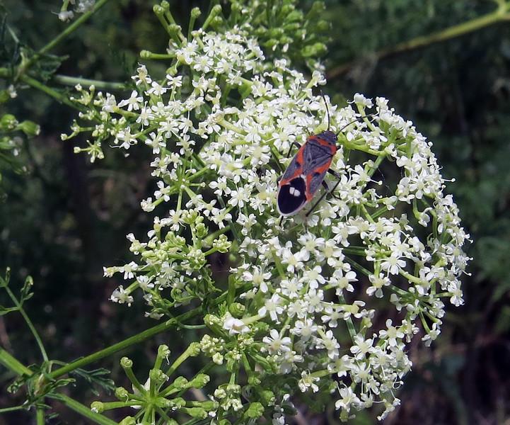 Small Milkweed Bug (Lygaeus kalmii) - adult