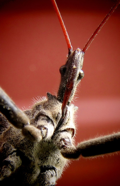 Close-up of a wheel bug (Arilus cristatus) (20121012_04664)