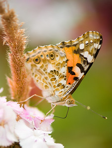 Painted Lady (Vanessa cardui) shot at Dongping Forest Reserve, Chongming Island, Shanghai, China
