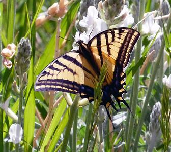 Papilio multicaudata - Two-tailed Swallowtail