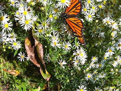 Beebe monarch