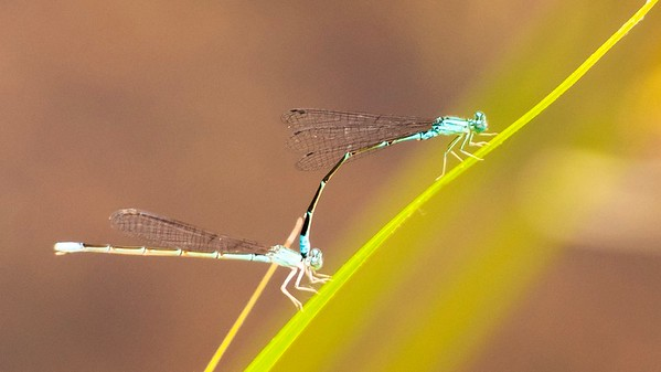 Damselflies are in tandem prior to mating