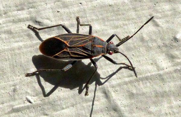 Western Boxelder Bug - Boisea rubrolineatus Barber
