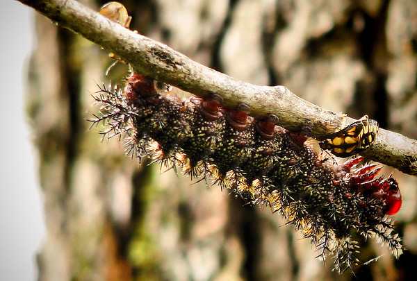 A buck moth caterpillar (Hemileuca maia) being attacked by two spined soldier bug nymphs (Podisus maculiventris) (IMG_1341)