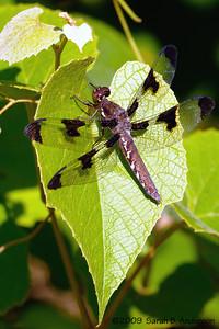 Dragonfly  Occoquan National Wildlife Refuge Fairfax County, Virginia June 2009