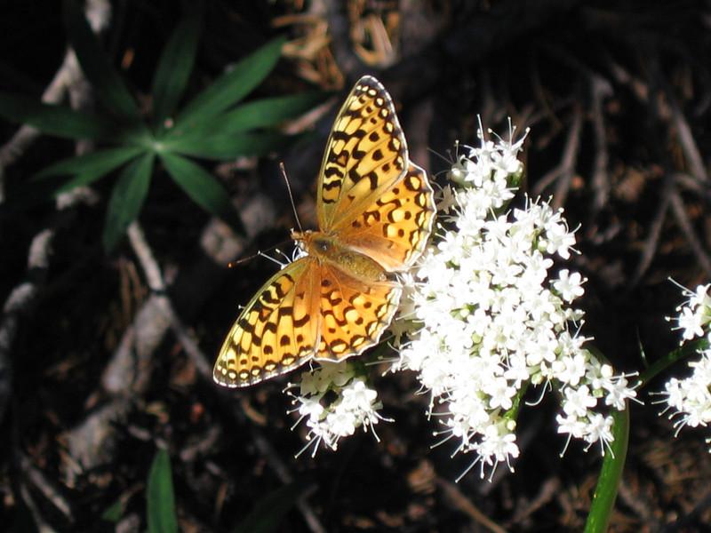Great Spangled Frittilary (Speyeria cybele)
