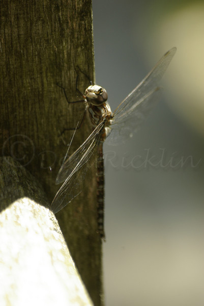 Dragonfly on wood.