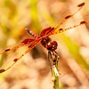 Little Brown-eyed Dragonfly