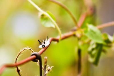Caterpillar of Bended Tussock Moth - Halysidota tessellaris