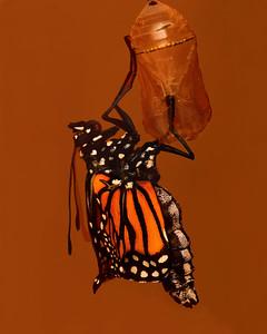 052505_0338PM-CRW_7180 newly hatched monarch printed nik sh 8x10
