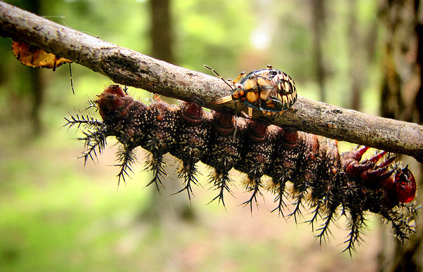 A buck moth caterpillar (Hemileuca maia) being attacked by two spined soldier bug nymphs (Podisus maculiventris) (IMG_1350)
