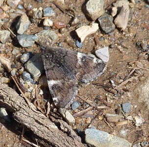 Infant Moth-- Archieras infans