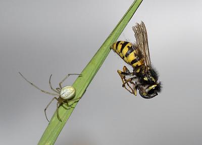 Wasp, spiders prey.
