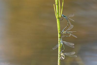 Pudrad smaragdflickslända