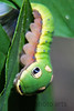 Spicebush Caterpillar