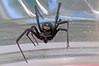 Black Widow 9