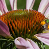 Green Metallic Bee on Purple Coneflower