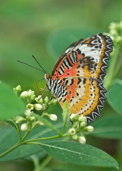 Leopard Lacewing, Brookside Gardens, Wheaton, Maryland