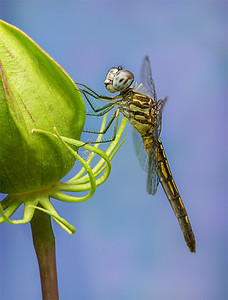 Dragonfly-on-Hibiscus-Bud
