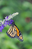 Monarch, Wheaton, Maryland