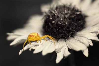 Crab spider on a brown-eyed susan flower - SW of Turner Valley, AB.